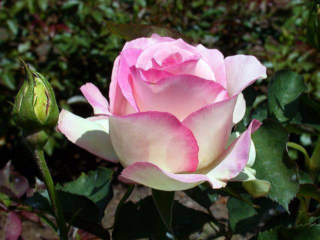 Чайно-гибридные розы – как вырастить сильное растение в саду?