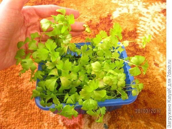 Как пикировать рассаду сельдерея: листового, черешкового, корневого