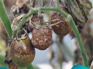 Что поможет спасти помидоры от фитофторы и как бороться с болезнью? меры профилактики