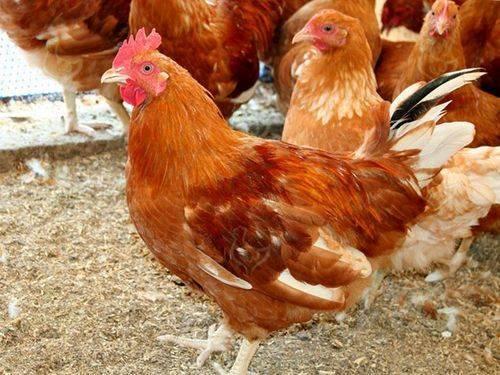 Основные особенности разведения мясных пород кур в домашних условиях: характеристика и описание видов