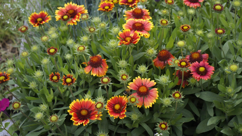 Гайлардия — пылающая прелесть в саду