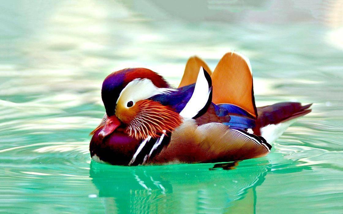 Утка мандаринка - фото, описание, ареал, размножение, враги