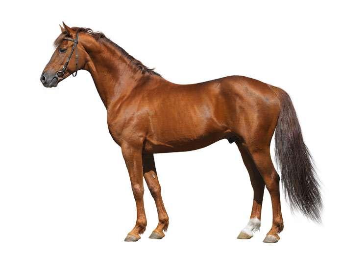Донская порода лошадей (37 фото): характеристика дончаков, история возникновения донских коней, вес верховых охотничьих лошадей