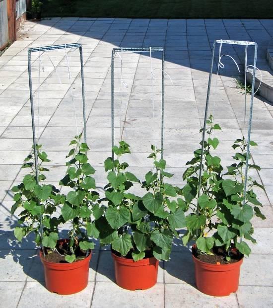 Как вырастить огурцы на подоконнике в квартире: инструкция