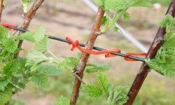Подвязка малины – материалы и способы подвязки