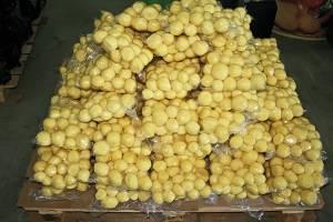 Ранний картофель: сорокодневка