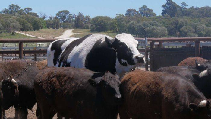 Кастрация мясных быков