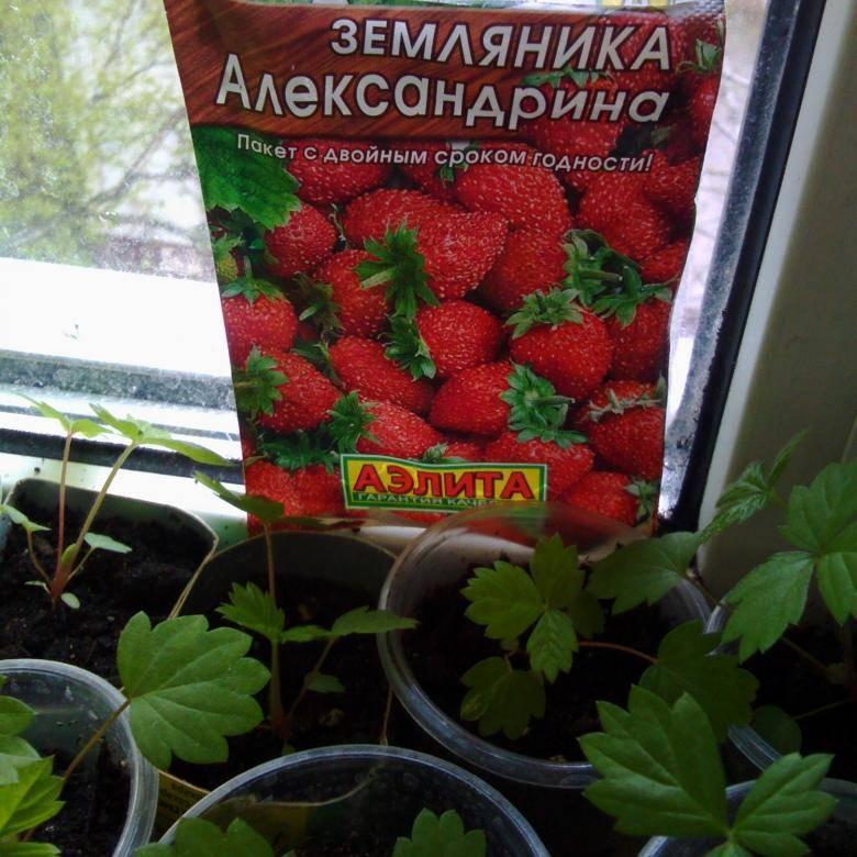 Кто выращивал землянику александрию?