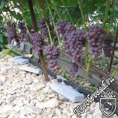 Виноград рилайнс пинк сидлис — описание сорта, фото, отзывы, видео.