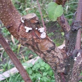 Болезни яблони, профилактика и лечение заболеваний яблоневого сада