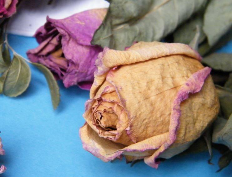 Почему комнатная роза сбрасывает листья и засыхает, каковы причины, по которым опадают бутоны, и что делать, если домашнее растение в горшке потеряло все?