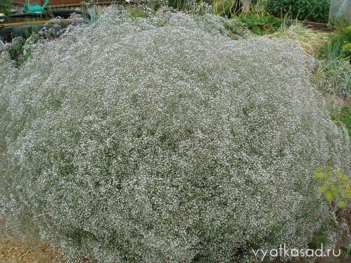 Все о гипсофиле: описание цветка и его значение, как засушить растение (советы)