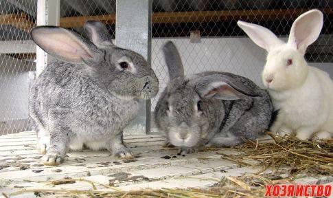 Можно ли поить кроликов водкой для профилактики