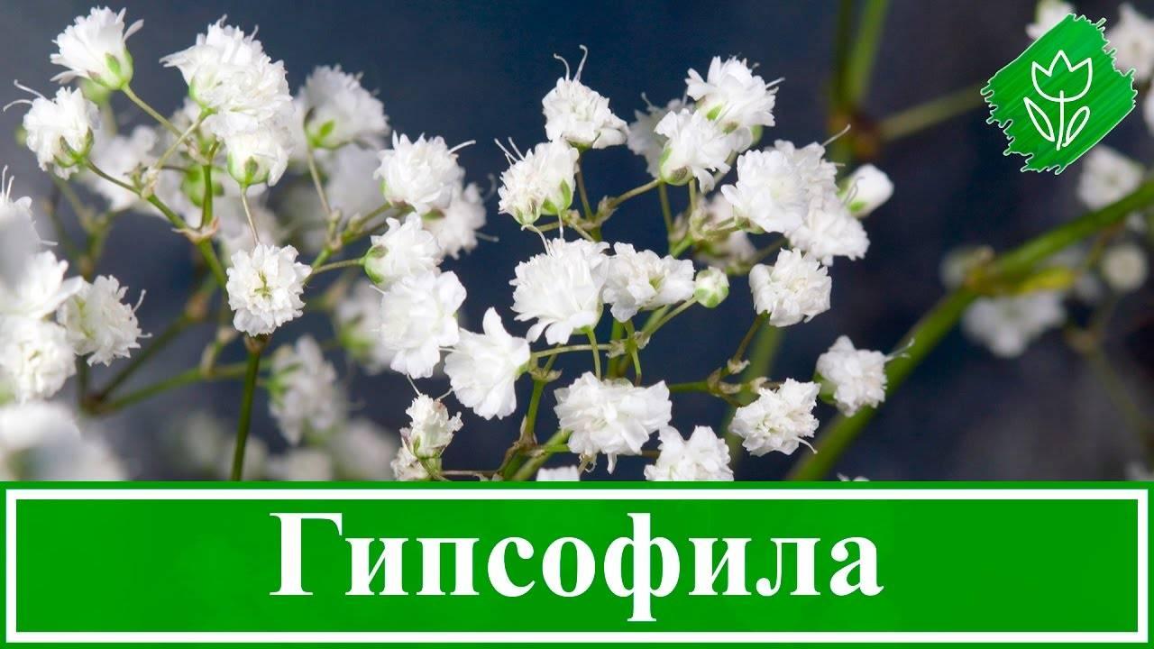 Многолетняя гипсофила: посадка и уход в открытом грунте, фото, выращивание из семян