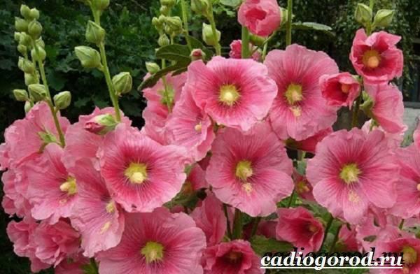 Мальва - шток роза дверовидная многолетняя, посадка, обрезка