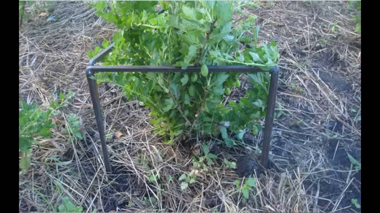 Как огородить кусты смородины своими руками — ягоды грибы