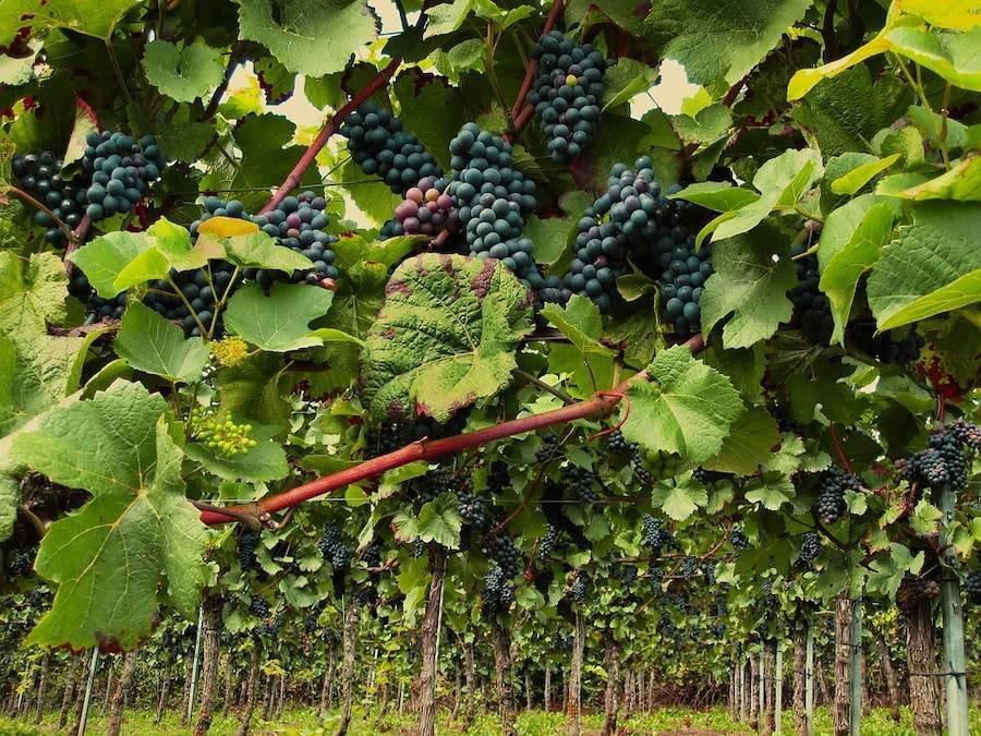 Болезни винограда и борьба с ними: средства для лечения и профилактики