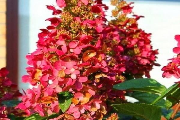 Сорт гортензии метельчатой – вимс ред