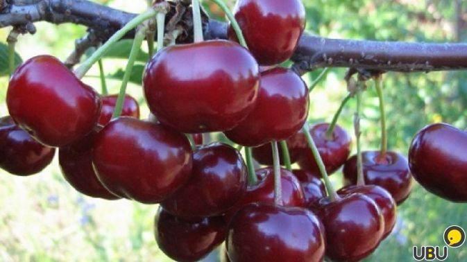 Черевишня ночка: описание и агротехника сорта