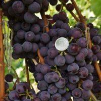 Сорта винограда в сибири: 30 лучших с описанием, посадка и уход для начинающих
