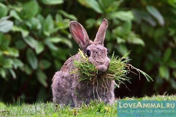 Можно ли кролику давать лебеды: вред и польза, как правильно вносить в рацион