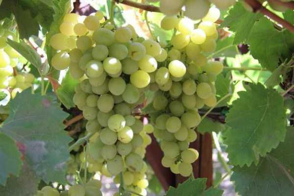 Морозоустойчивые сорта винограда – топ 10
