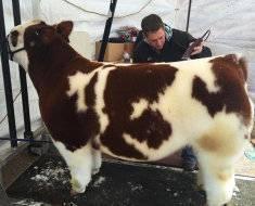 Безрогая корова (комолая): порода, название, фото