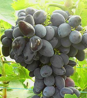 Виноград викинг: описание сорта с характеристикой и отзывами, особенности посадки и выращивания, фото