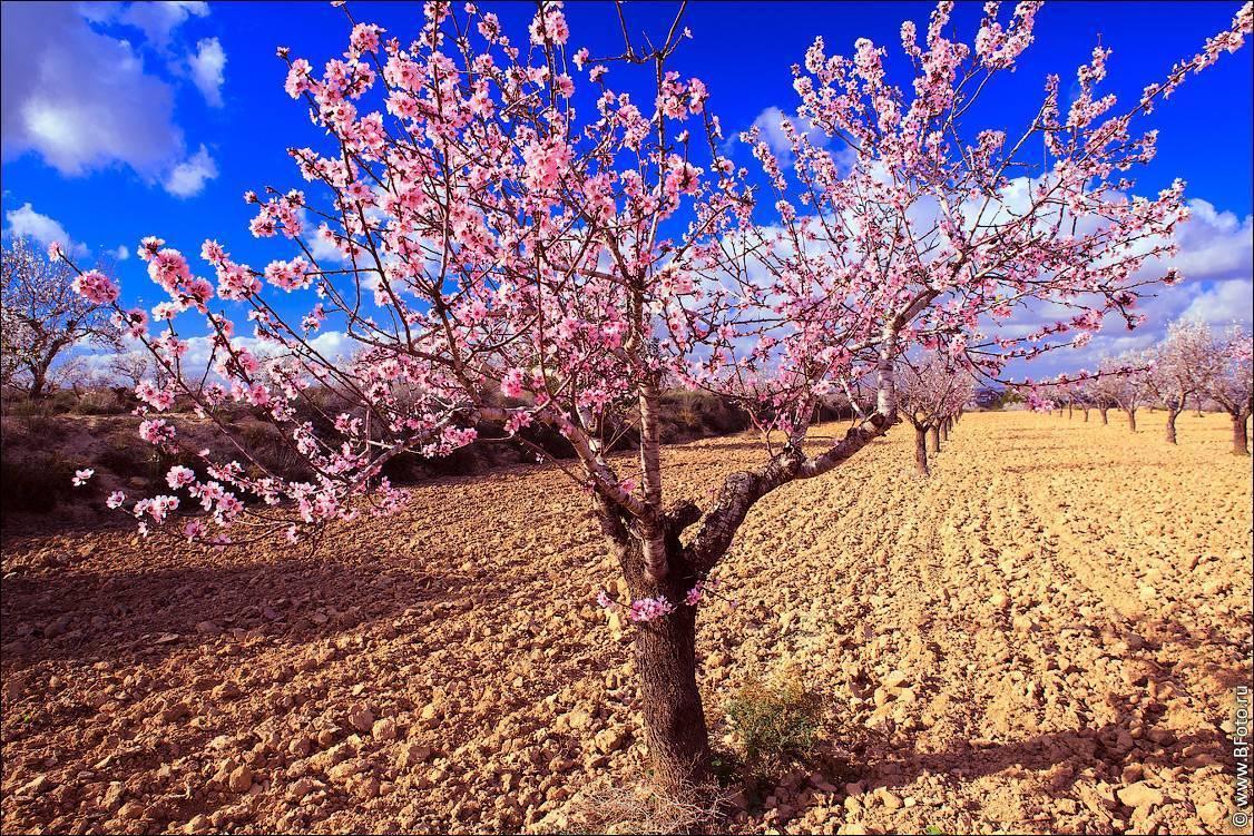 Высаживаем персиковые саженцы правильно: пошаговая инструкция для новичков