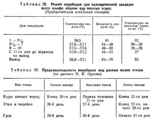 Правила и особенности инкубации фазаньих яиц