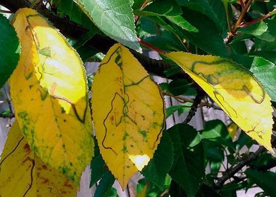 Как защитить войлочную вишню от болезней, вредителей и других неприятностей