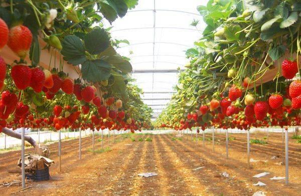 Выращивание клубники круглый год дома