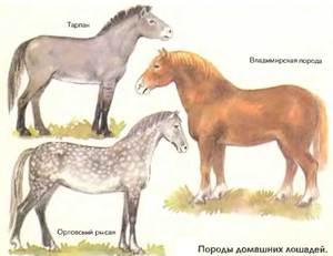 Канадская порода лошадей — описание и фото