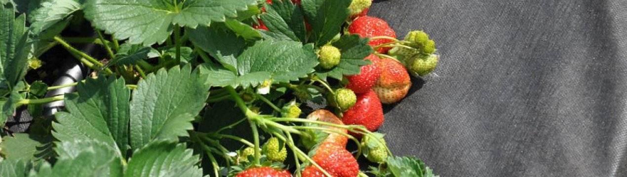 Обработка клубники фитоспорином весной, во время цветения и плодоношения