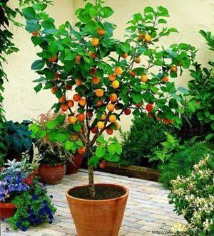 Как правильно посадить косточку абрикоса – самая важная информация