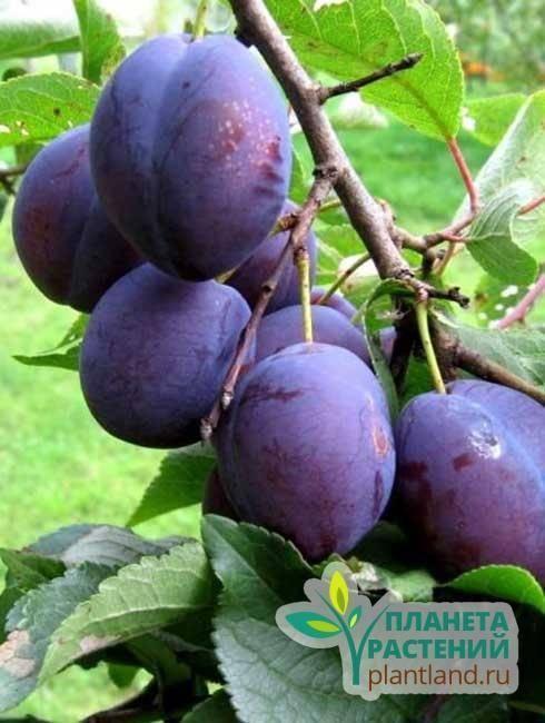 Слива это ягода или фрукт — как правильно называть и почему. особенности выращивания, лечение и уход за деревом (75 фото)