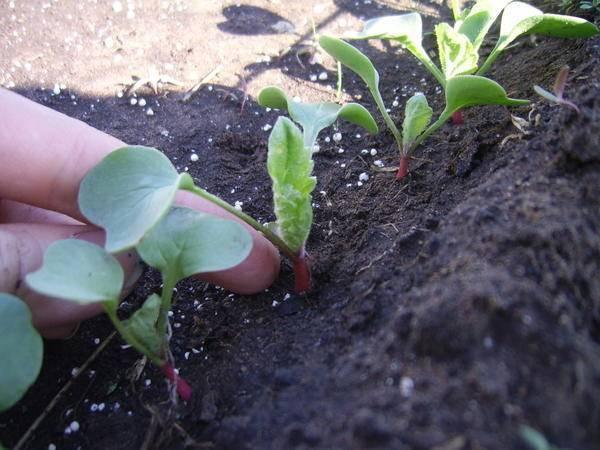 Репа выращивание и уход в открытом грунте