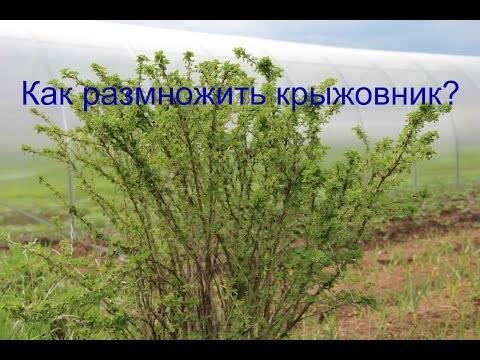 Размножение крыжовника - отводками, черенками. отзывы. размножение крыжовника зелеными черенками летом - отзывы