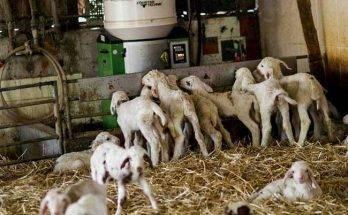 Домашняя коза: рекомендации и основные правила разведения для начинающих. с чего начать и как содержать козу (85 фото)
