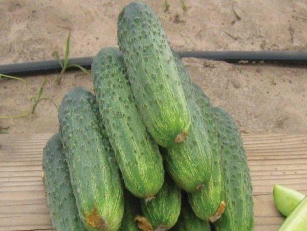 Голландские семена огурцов: 5 популярных сортов