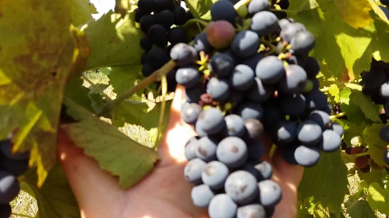 Сорт винограда саперави