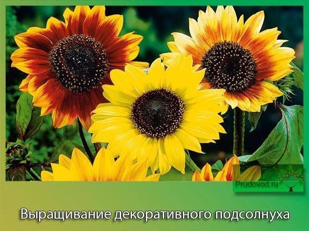 Декоративные сорта подсолнуха. описание и особенности выращивания