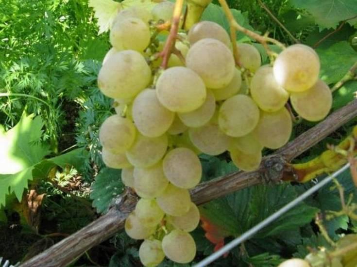 Надежда аксайская виноград