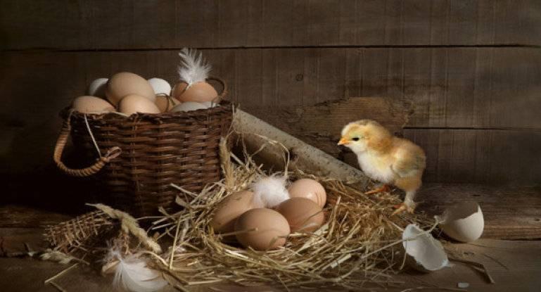О тетрагидровите для цыплят бройлеров: инструкция по применению, доза препарата