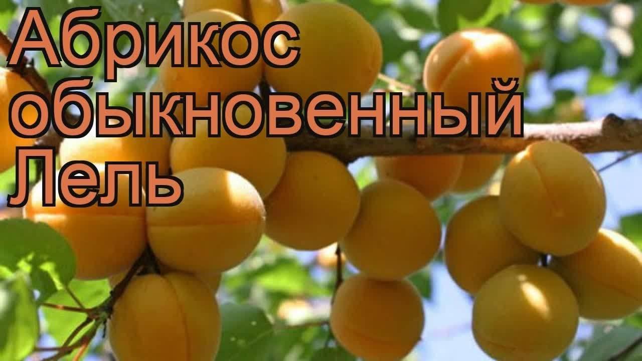 Абрикос 'лель' — википедия переиздание // wiki 2
