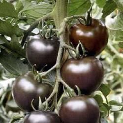 Сорта черных томатов: описание, фото, отзывы