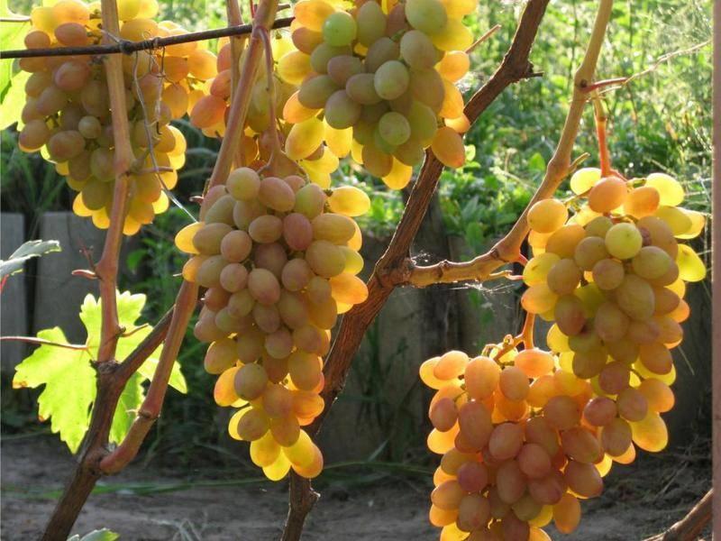 Описание и характеристика винограда сорта «румба»