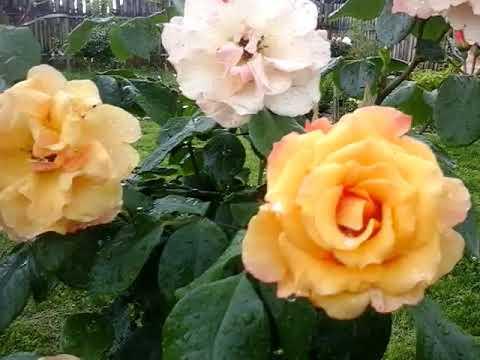 Роза текила энциклопедия роз. описание сорта роз текила (tequila sunrise)