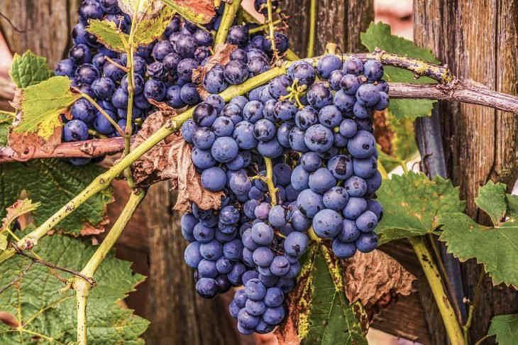 Восстановление поврежденного винограда после зимовки и заморозков