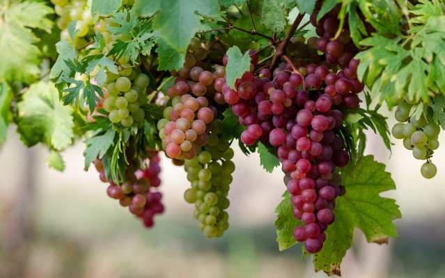 Как пересадить виноград на другое место осенью или весной